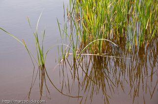 Reeds, Woods Hole, 2009