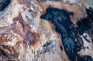 Burned stump, Dorena Oregon, 2009