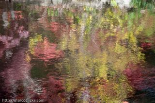 Reflection, poplar and Japanese maple, Woods Hole, 2009