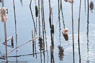 Reeds and reflection, Woods Hole, 2010