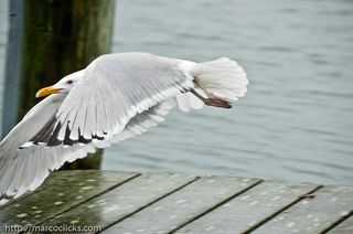 Gull leaving the frame, Woods Hole, 2010