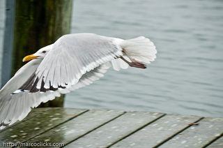 Gull leaving the frame, Woods Hole, 2010