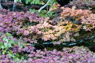 Autumn leaves with Japanese maple, Woods Hole 2010