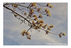 Springbuds2