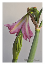 Amaryllis_8_copy