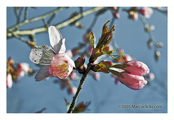 Cherry_tree_1_copy