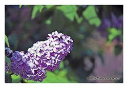 Lilac_4_copy