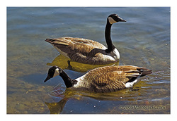 Pond_geese_1_copy
